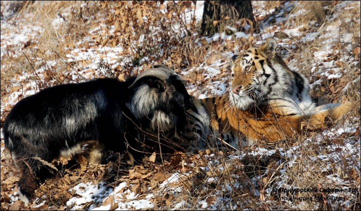 Amur and Timur