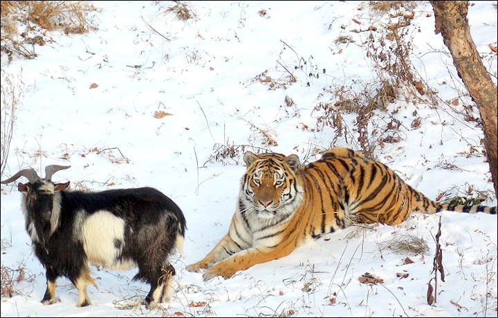85% certain: the tiger will eat his pal the goat, warns Siberian zoo expert