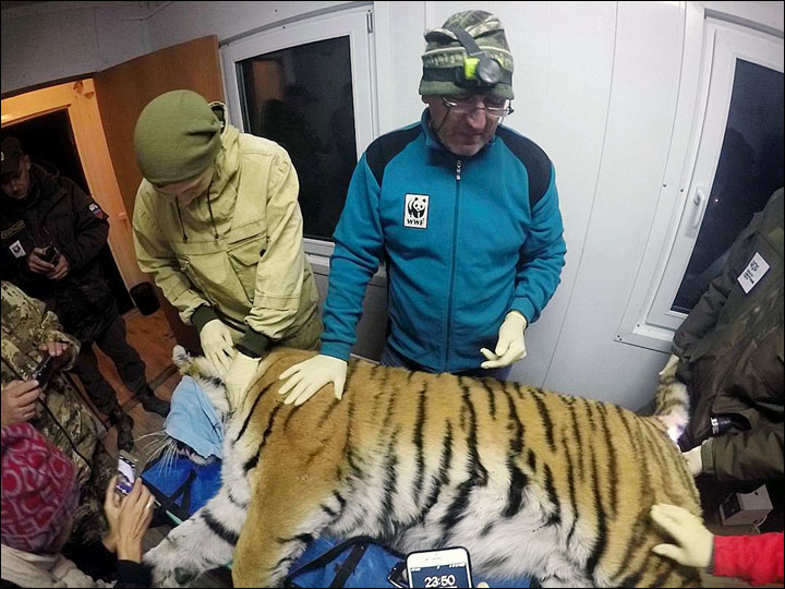 Tiger in Vladivostok