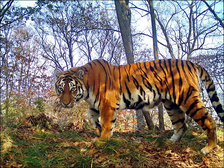 tiger selfies