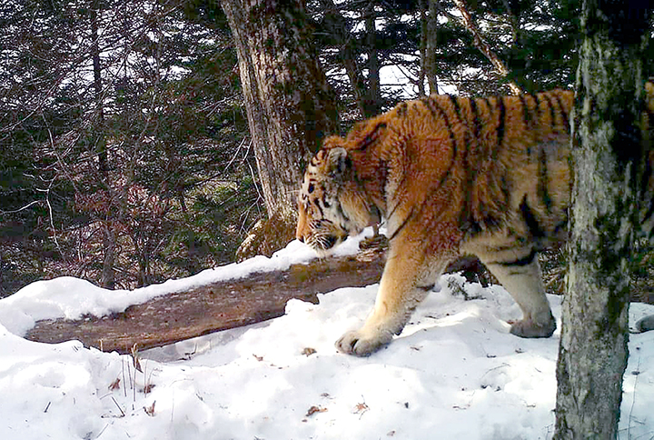 Tiger king Tikhon who sought human help now wants to return to the wild after having dental treatment