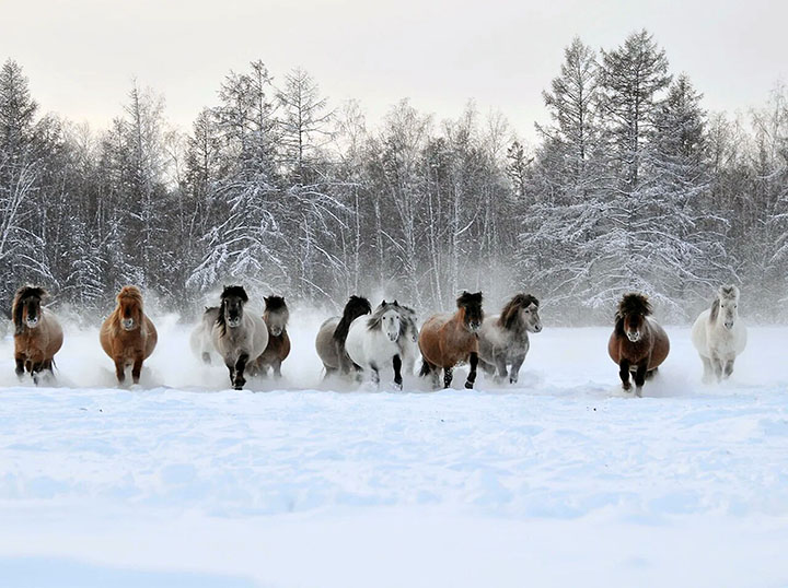 How do reindeer and Yakut horses cope with the harsh Siberian winter? They are 'eternally tipsy'