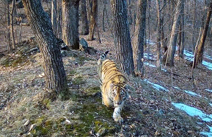 Double joy as two cubs of endangered Amur tiger registered in the Far East of Russia