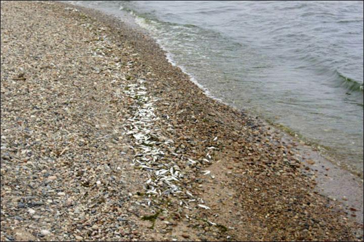 Dead fish on Baikal