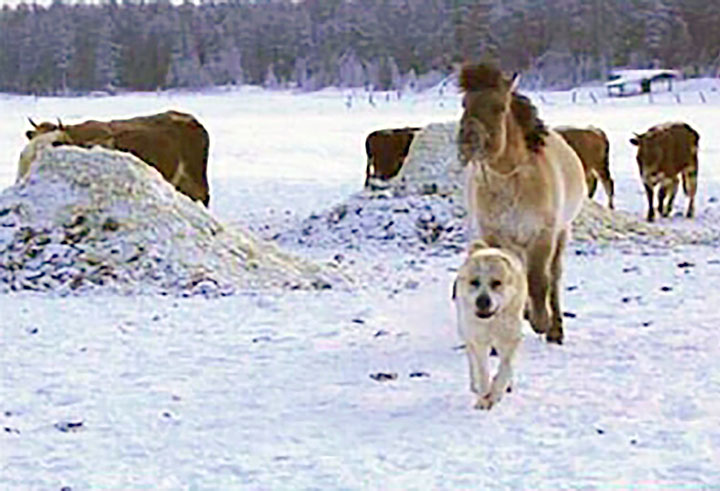 Dog takes capricious horse to water, and makes her drink even when its minus 50C