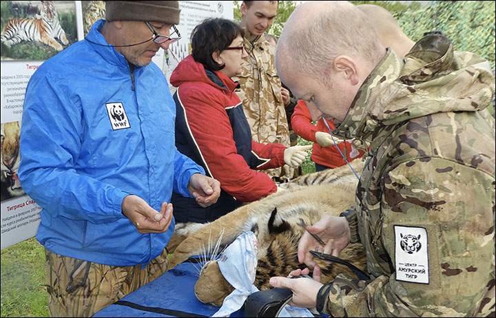 Vladik the tiger that stalked the city of Vladivostok is released back into the wild