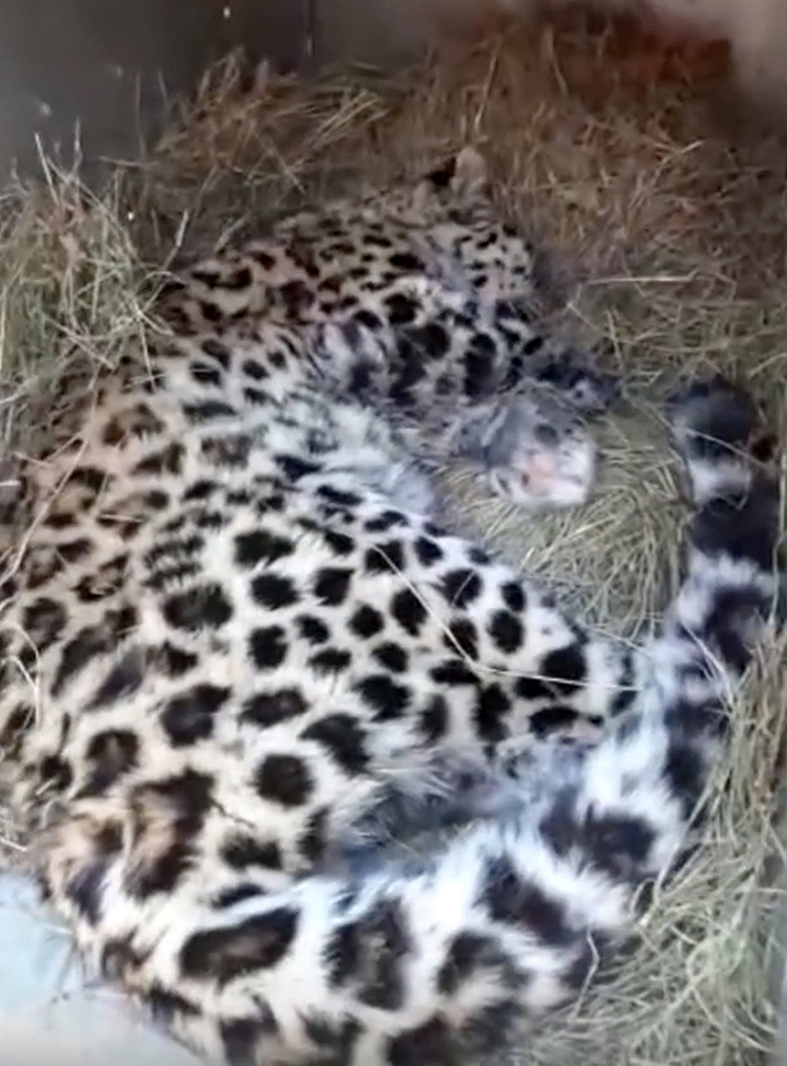One of the world's rarest big cats found badly wounded in the Far East of Russia