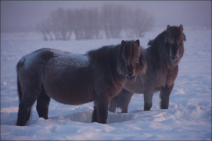 With thick coat to keep it warm, the little Yakut horse loves nothing better than running about the frozen fields
