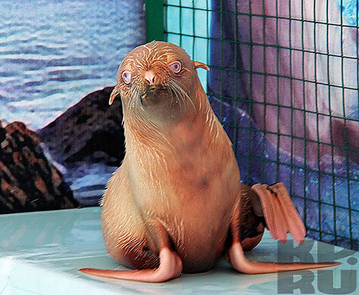 Rare blue-eyed ginger seal pup found by Russian biologists at Sea of Okhotsk rookery