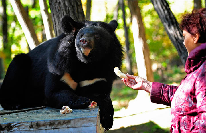 The Himalayan (or Asian) bears were cared for previously by pensioner  Lubov Leschchenko, living in cages in her backyard in the village of Dubovy Kliuch in the Far East of Russia.