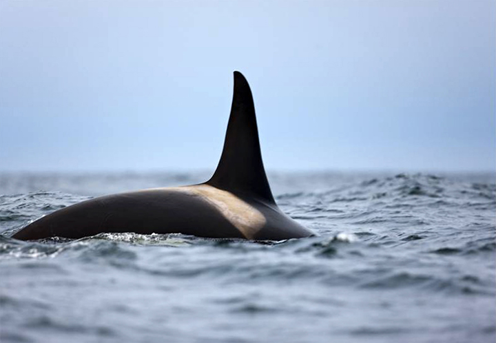 A gnawed to bones orca whale was found by a nature reserve ranger