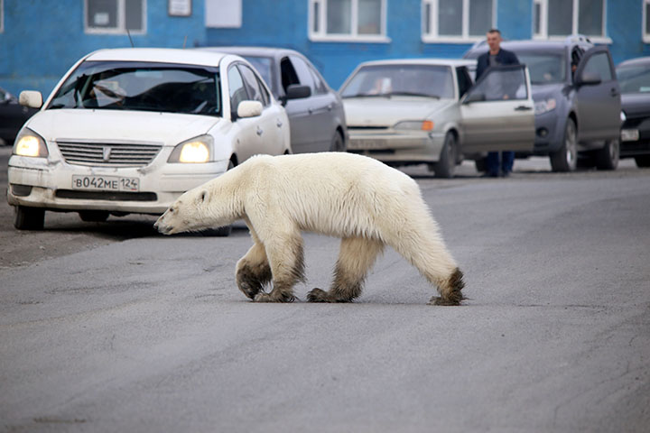 T-34 polar bear video explained: scientists marked the predator in 'safe paint'