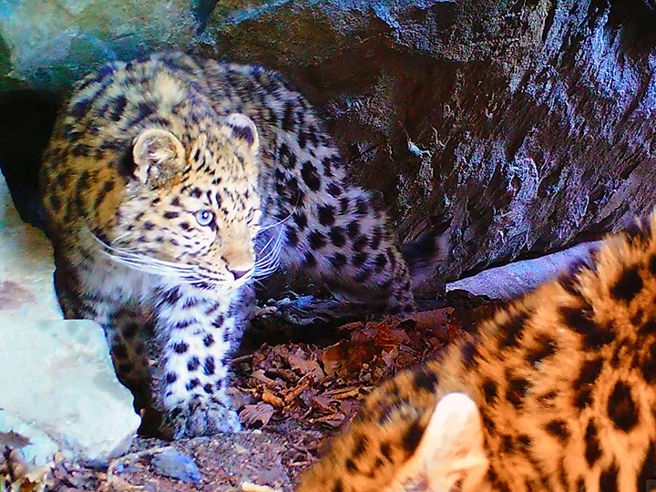 saving the world's most endangered big cats
