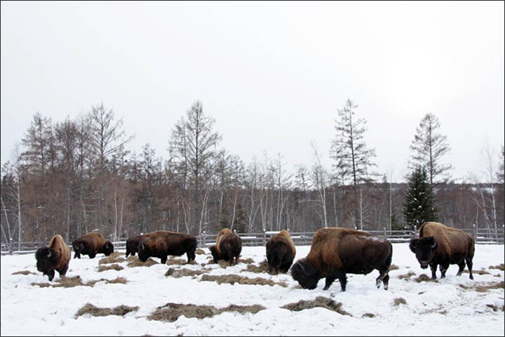Wood bisons in Yakutia
