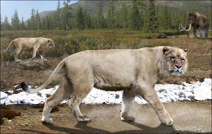 Proof that lions roamed northern Siberia in the age of the mammoths and woolly rhinoceros.
