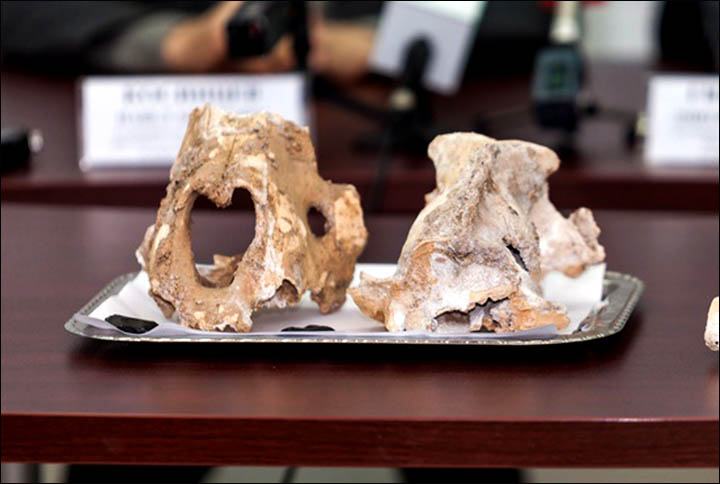 World's greatest ever haul of supersize cave lion bones found in Urals