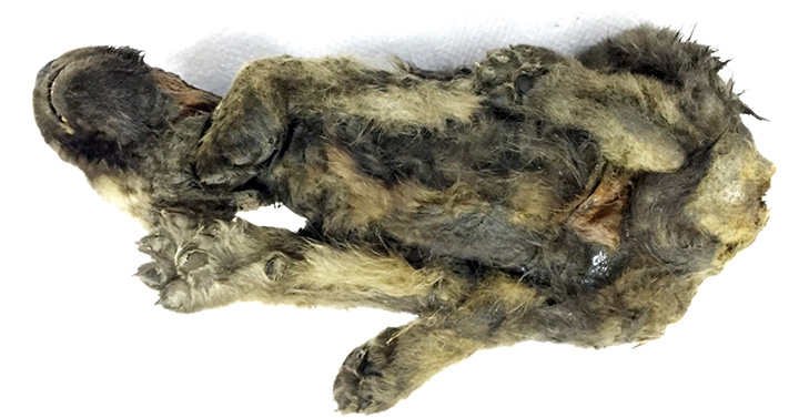 Amazingly preserved puppy with its whiskers, eyelashes, hair and velvety nose intact puzzle scientists