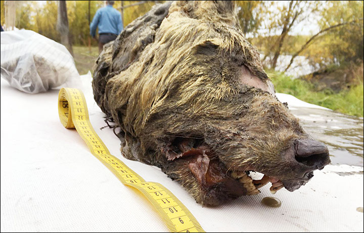 Perfectly preserved head of 40,000-year-old wolf found in Siberia