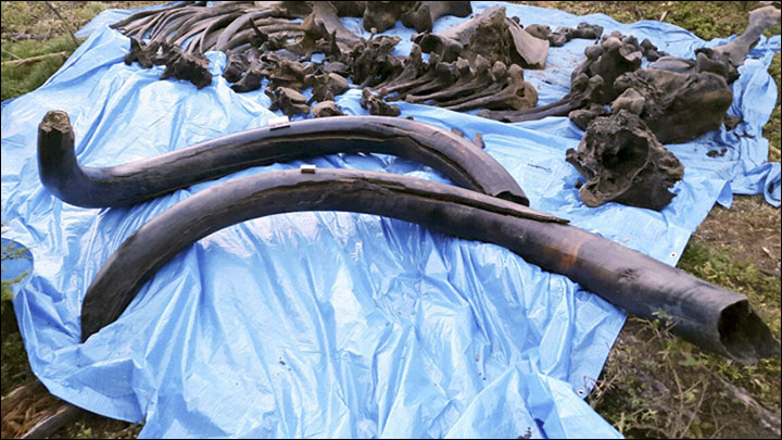 Steppe mammoth in Yakutia