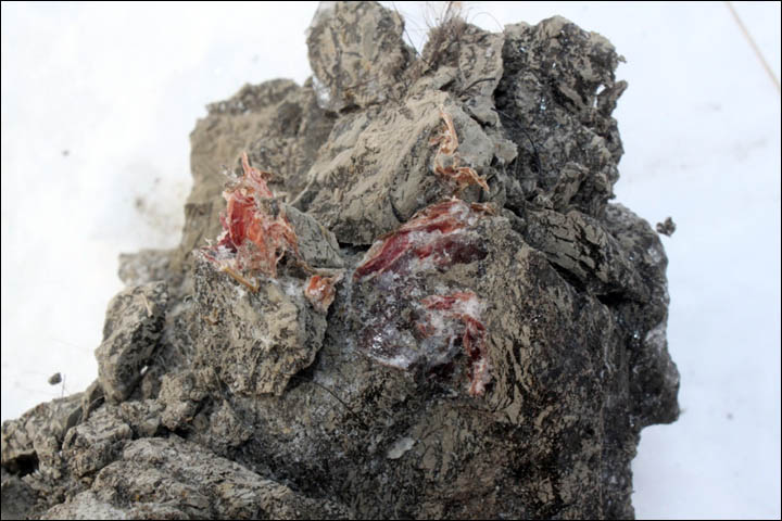 first ever sample of mammoth's blood Siberia
