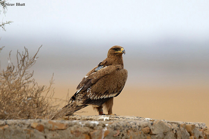 Top-up needed after scientists tracking feathered predators receive huge mobile SMS bills from 'hundreds of messages'.