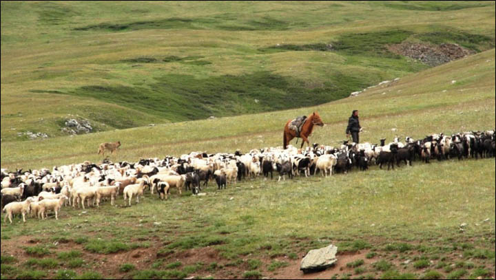 Shepherd with sheep in mountains