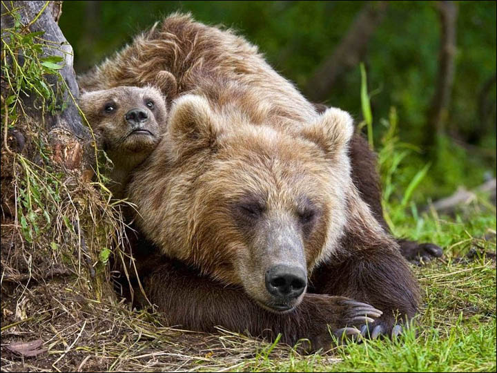 Bears on Kamchatka
