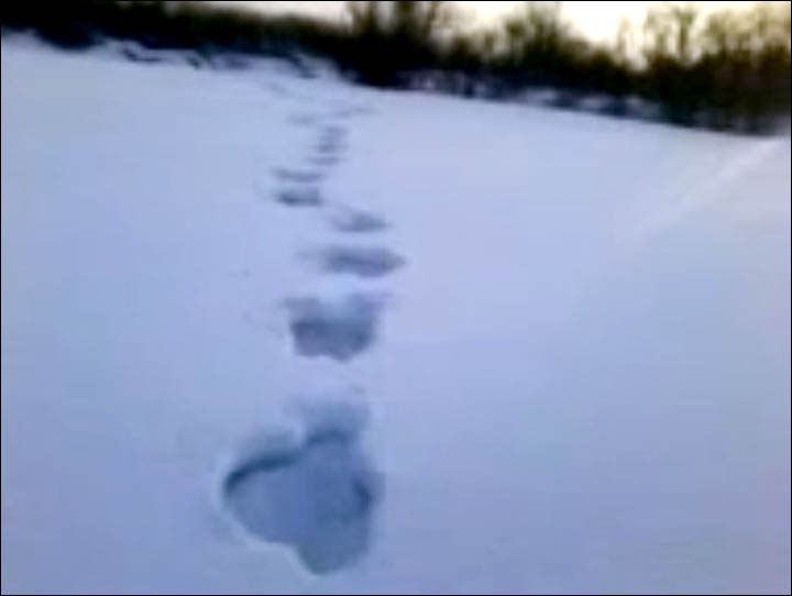 First sighting of baby Yeti in Siberia?