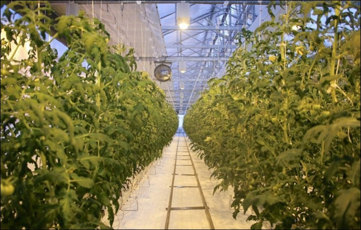 Growing tomatoes as the cold hits minus 45C  Impossible? Not