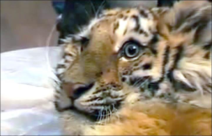Siberian tigers poaching - photo#16