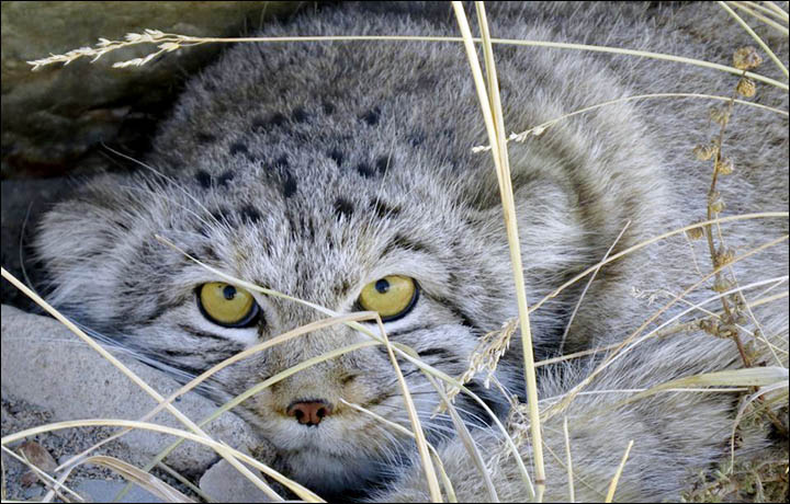 Pallass cats to get their own palace in siberian mountains publicscrutiny Images