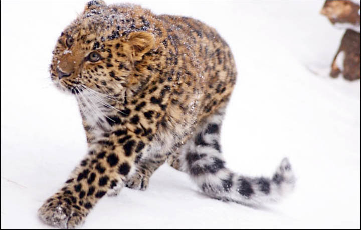 Amur Leopard In Snow