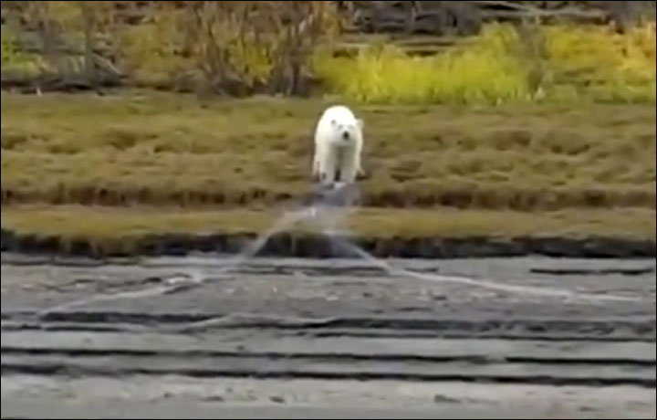 Lost But Happy Eating Fish The Polar Bear That Strayed 700 Km Too Far South