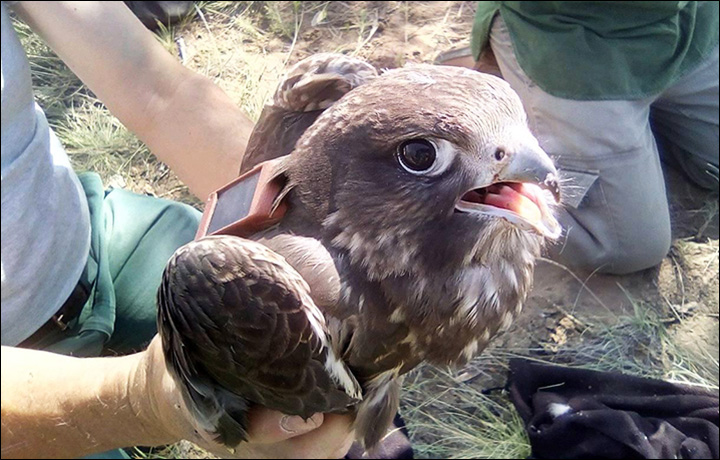 Rare Siberian Saker Falcon illegally caught and sold for