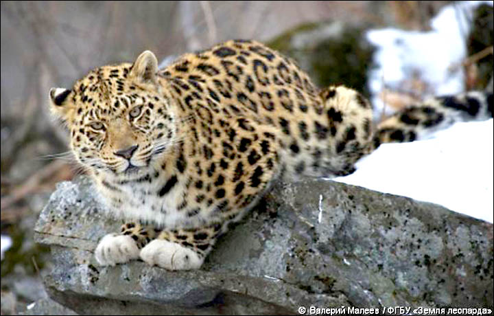 Basic Facts About Leopards