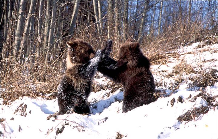 Siberian tiger - Wikipedia
