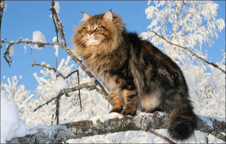 Download 1920x1200 Snow animals siberian tiger wallpaper