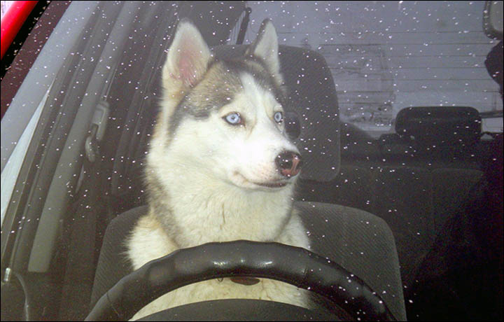 Lada Car Driven By A Husky Puppy Yes It S True Crashes Into A