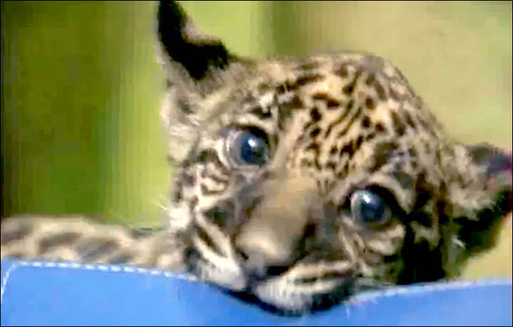 Cute jaguar cub is bottle fed after mother refuses to feed her at ...