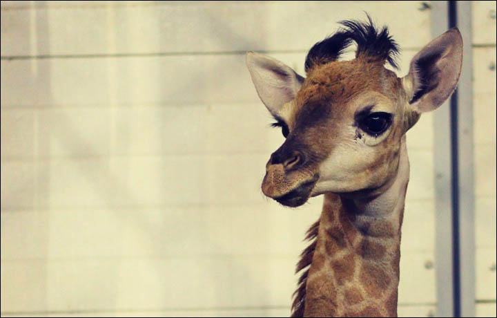 Meet Raduga Siberia S First Baby Giraffe Named After Rainbow