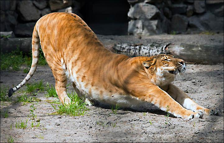 Ligress