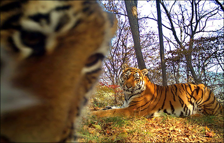 Wild tiger family pose for amazing selfies in front of