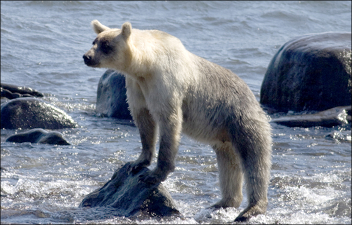 brown bears are turning silver on remote islands
