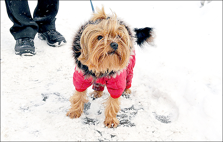 Happy Ending For Toshka The Flying Yorkshire Terrier Blown Away By A
