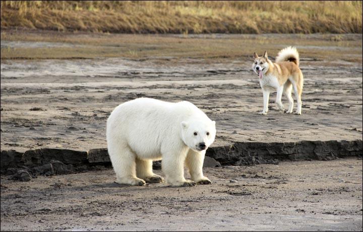 Polar bear cub on Kolyma