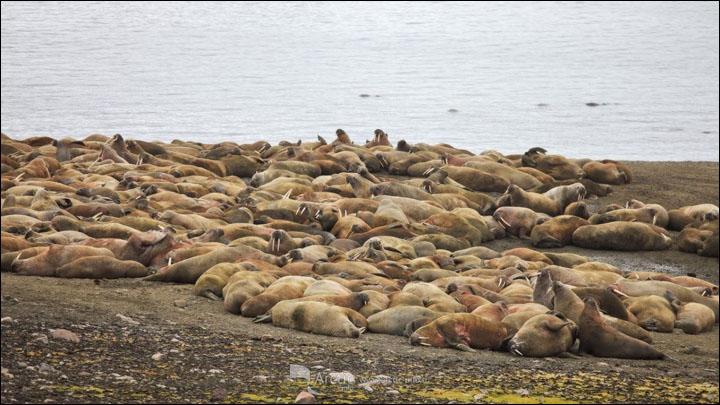 Walruses on Cape Kozhevnikov