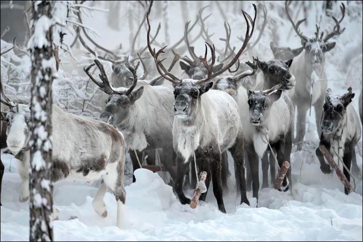 Wolves preying on reindeer herds threaten seasonal joy in remote Siberian villages
