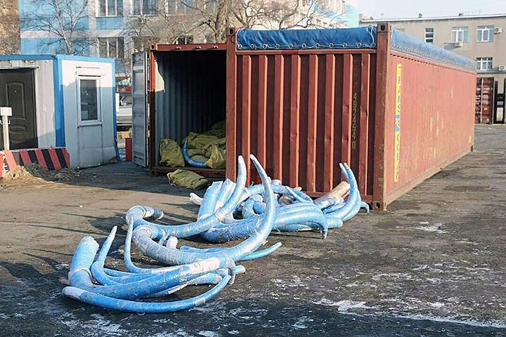 Vast haul of top quality mammoth tusks worth $6 million is