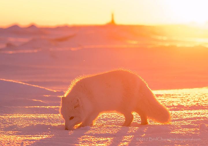 Stunning pictures of 'pink' Arctic Fox basking in sunrise on Yamal peninsula