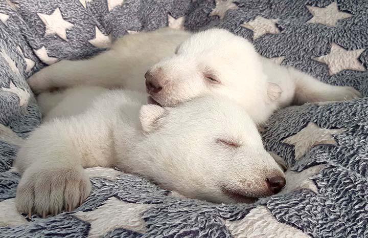 Manucures, massages, lait chaud et soins 24/7 pour élever des oursons polaires dont la mère les a rejetés